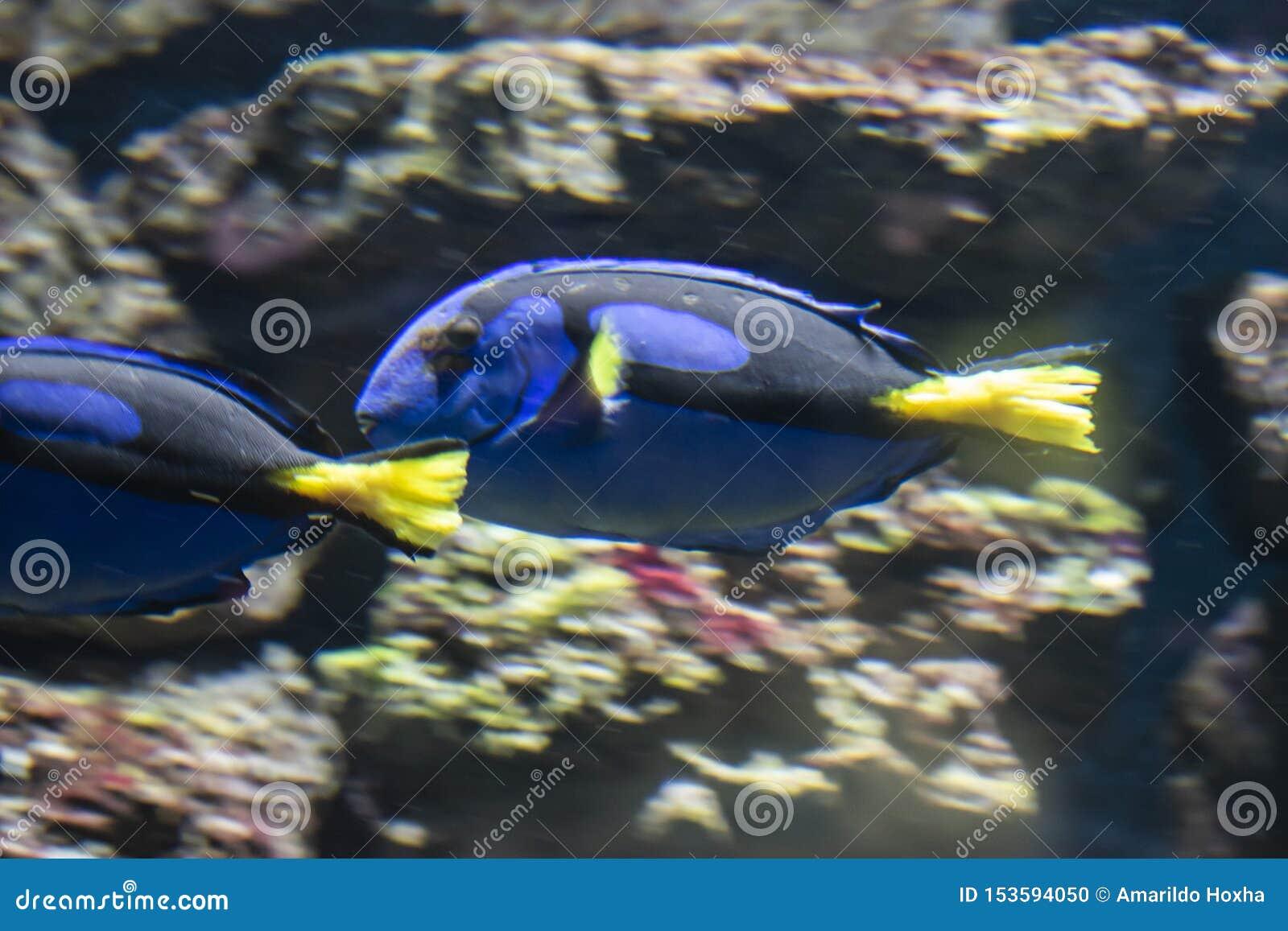 Den blåa skarp smakfisken