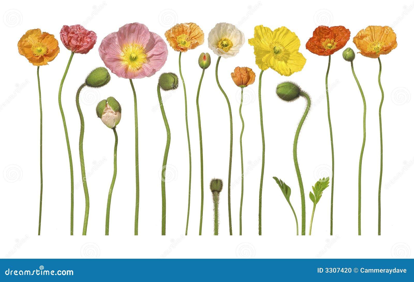 Den blom- blomman blommar vallmon