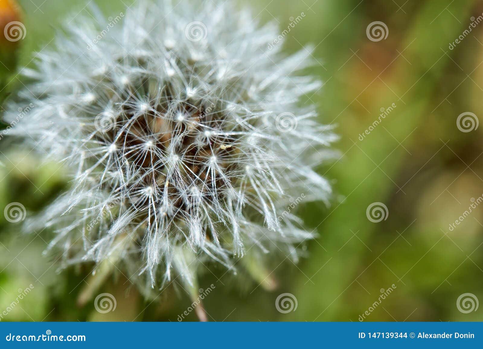 Den blommade maskrosen i natur v?xer fr?n gr?nt gr?s