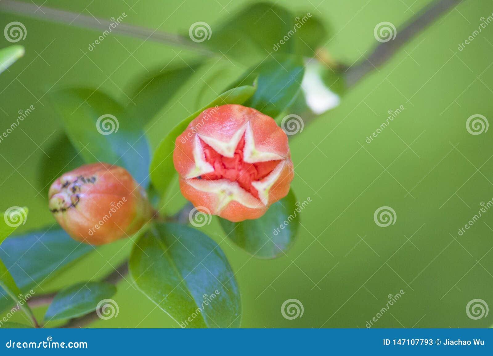 Den blommande granatäppleblomman slår ut in i en växtblomma