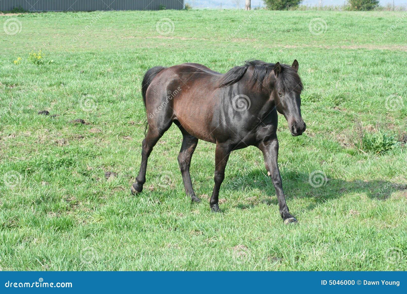 Den bruna mörka hästen betar