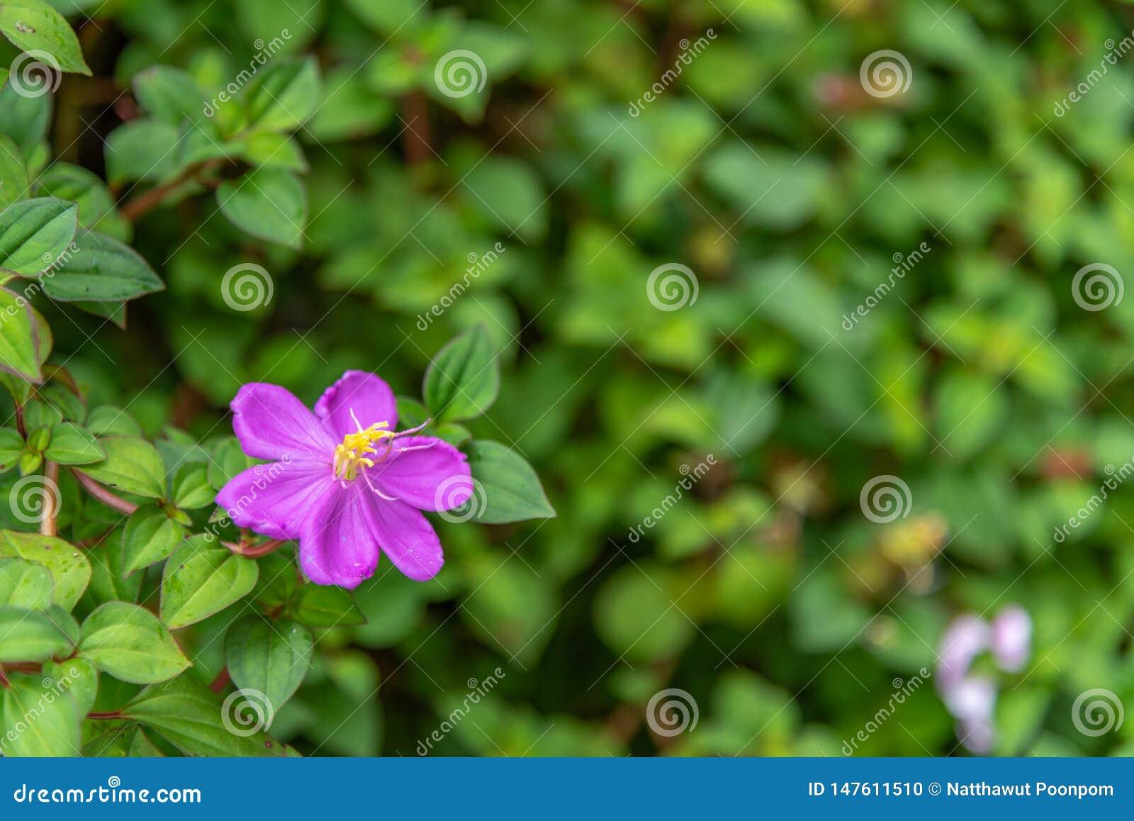 Den Dissotis rotundifoliaen har sex kronblad