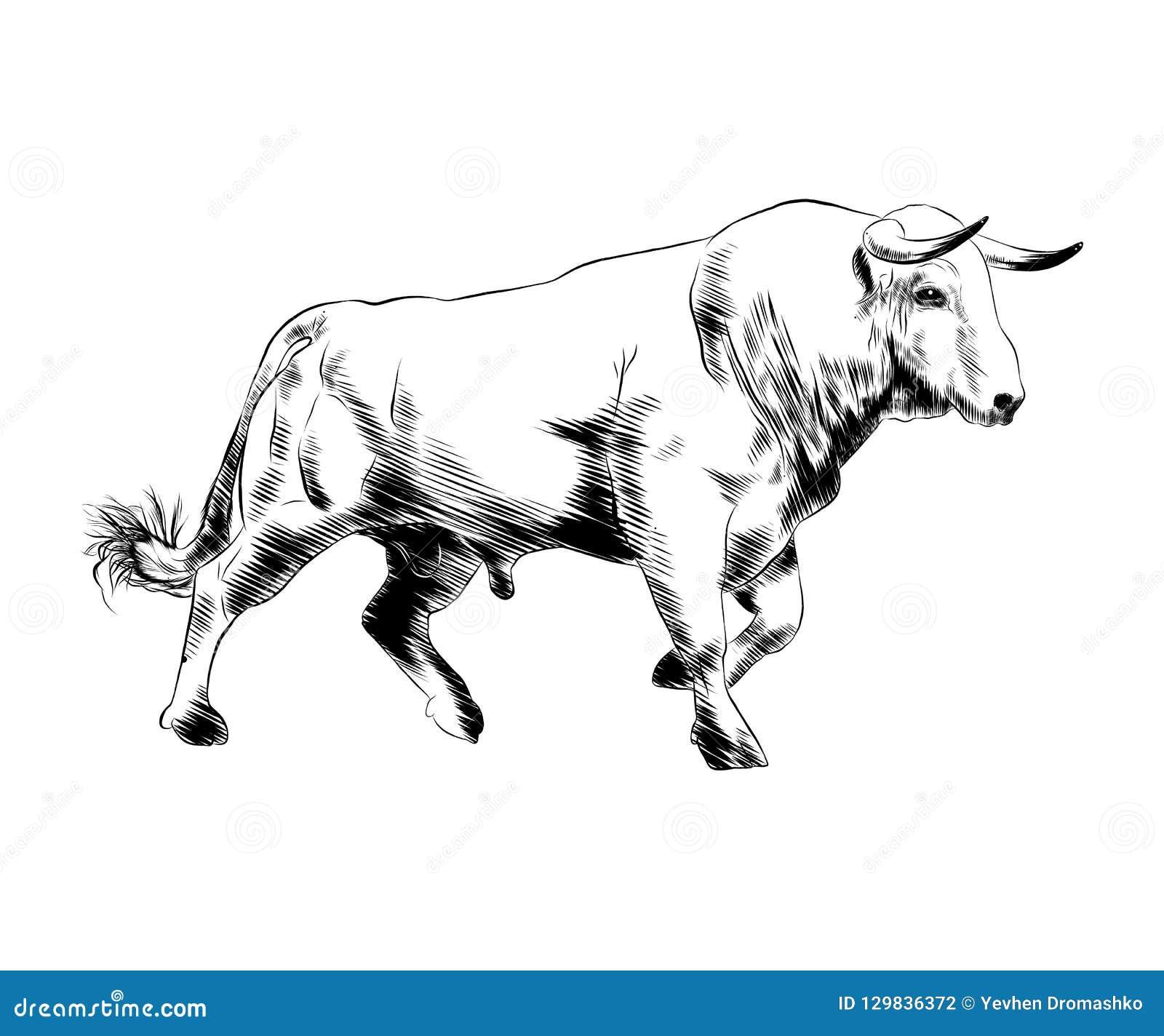 Den drog handen skissar av tjuren i svart som isoleras på vit bakgrund Detaljerad teckning för tappningetsningstil