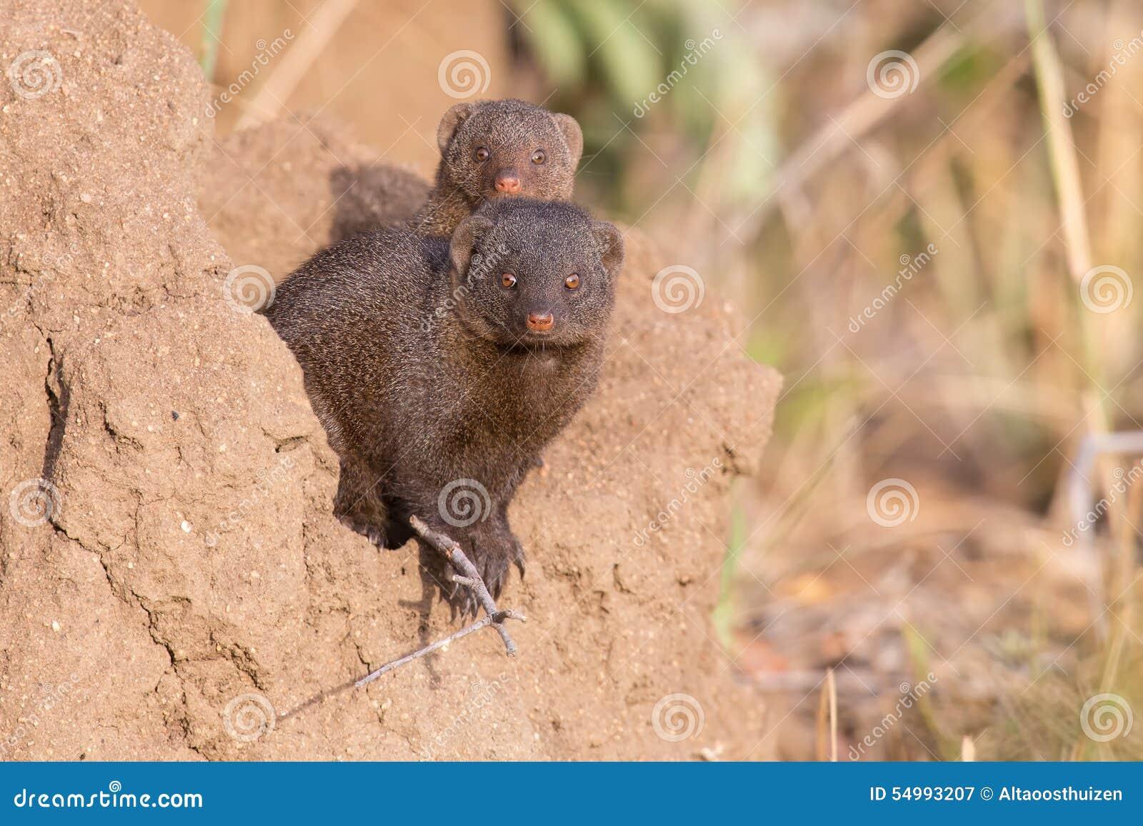 Den dvärg- mungorfamiljen tycker om säkerhet av deras håla