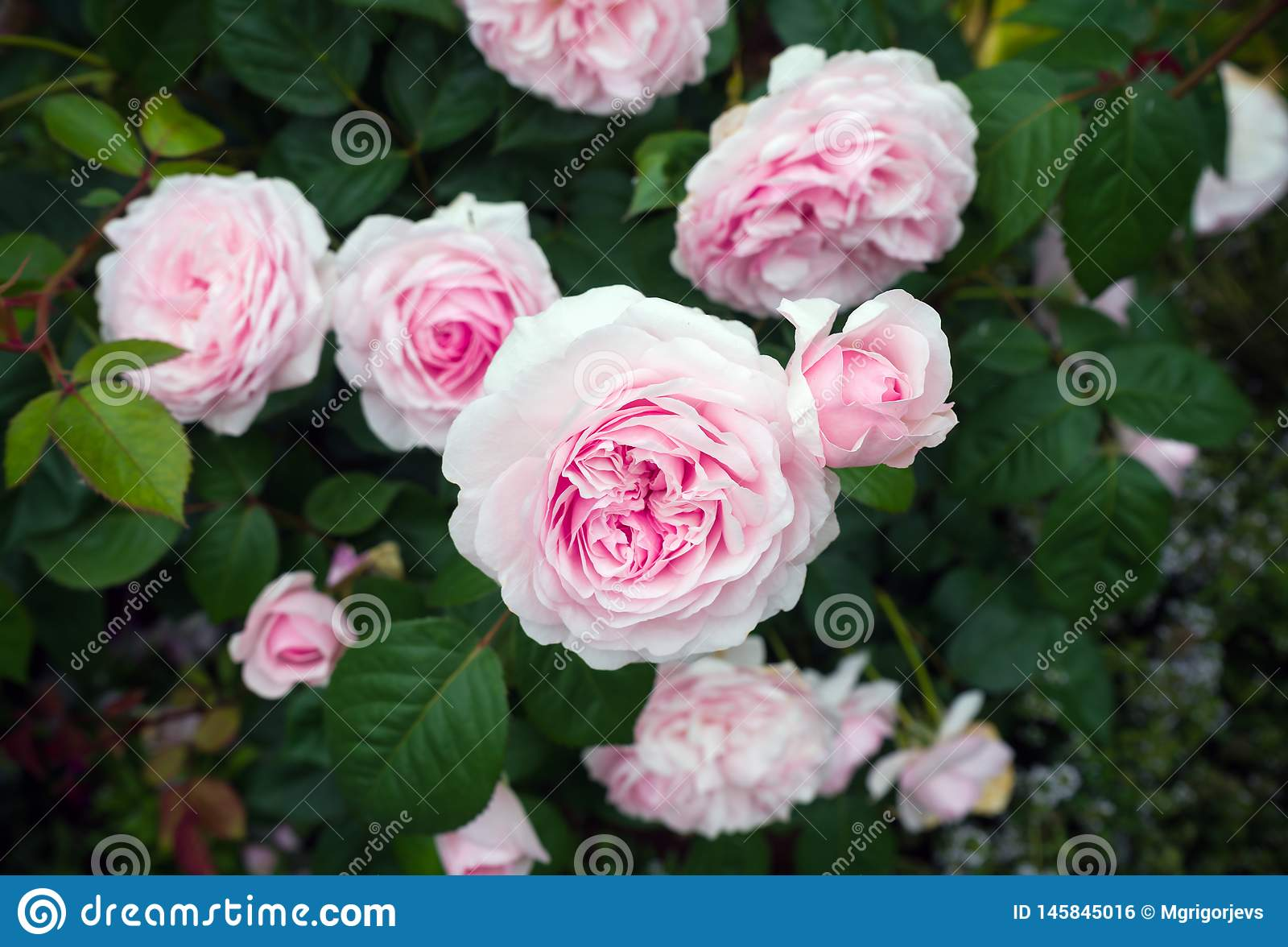 Den engelska busken rosa Olivia steg Austin i tr?dg?rd