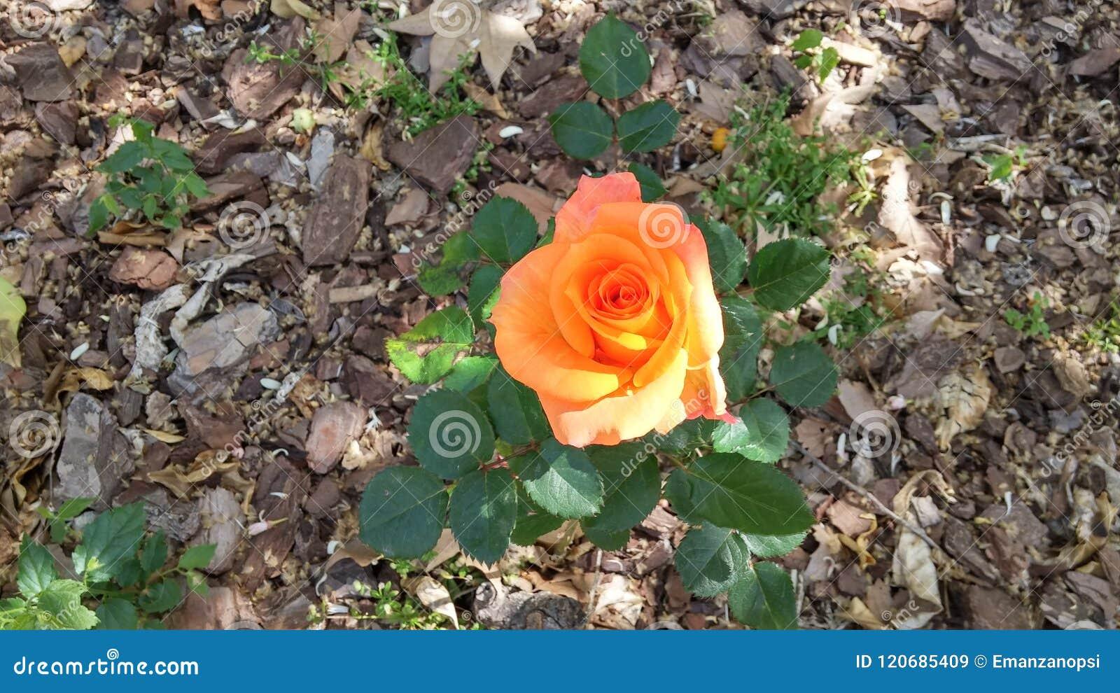 Den enkla blomman i trädgården