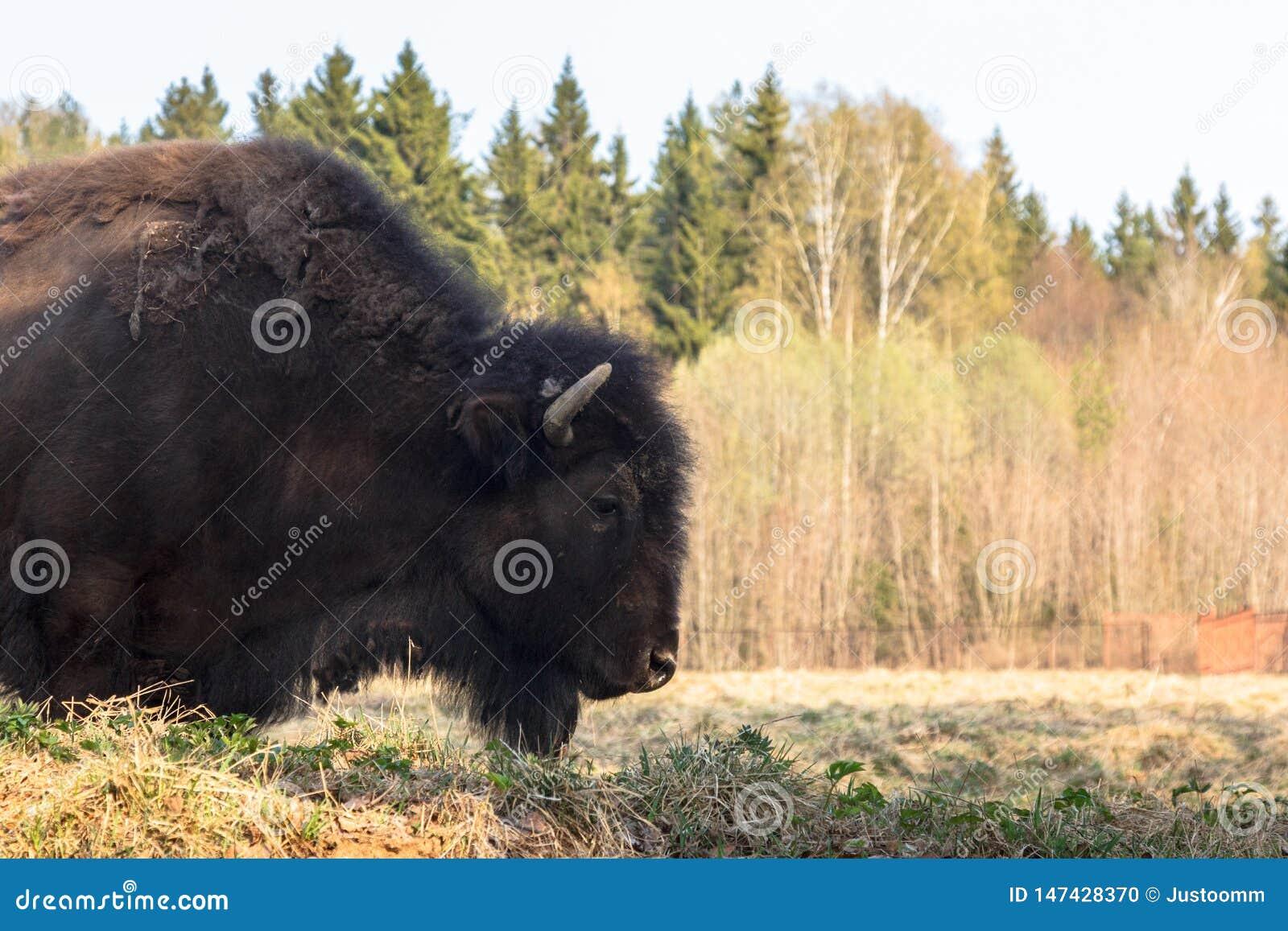 Den enorma bisonen går över fältet och äter filialer och gräs som fotograferas i den nordliga delen av Ryssland