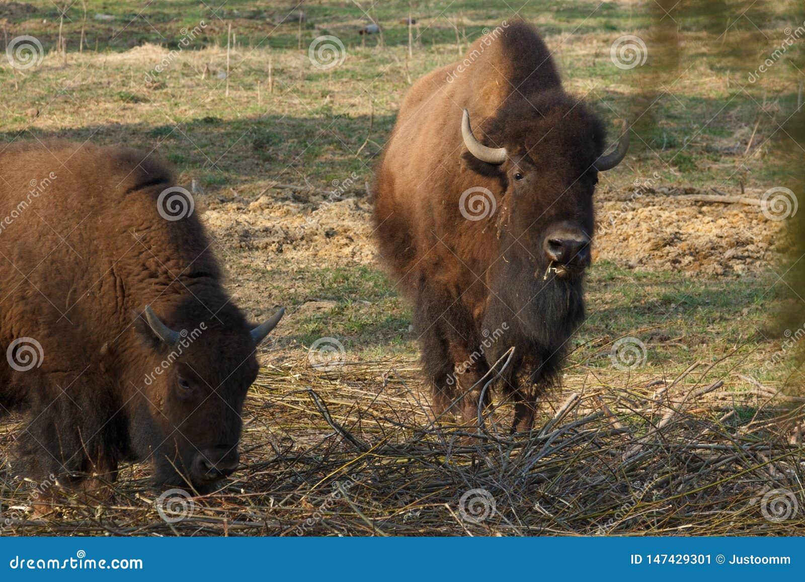 Den enorma bisonen g?r ?ver f?ltet och ?ter filialer och gr?s som fotograferas i den nordliga delen av Ryssland