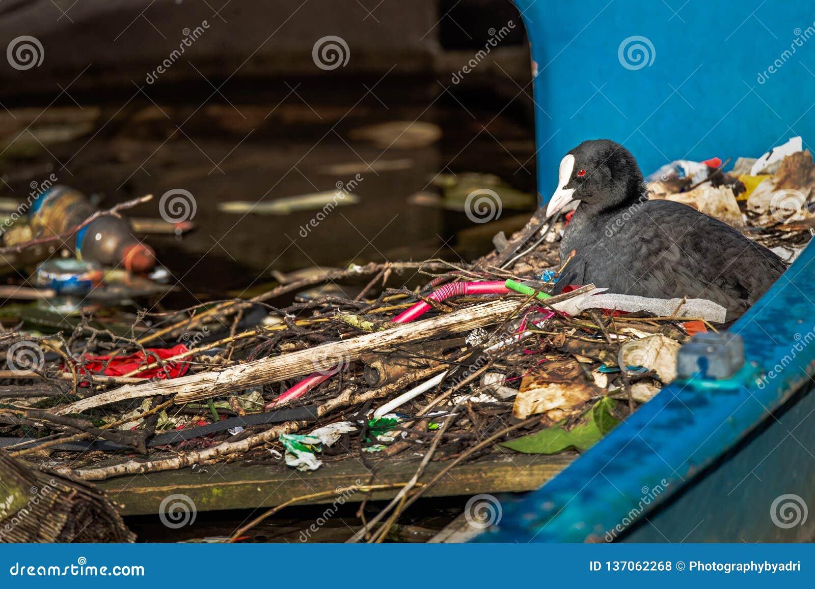 Den Eurasian sothönan sitter på ett rede som göras av ris och avfall, i ett delvist sjunkit fartyg i en Amsterdam kanal