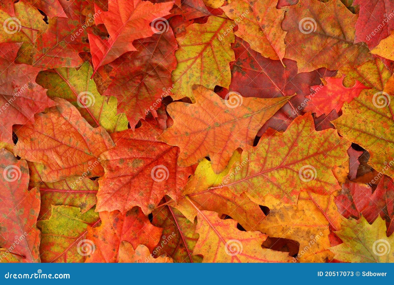 Den färgrika fallen låter vara oaken