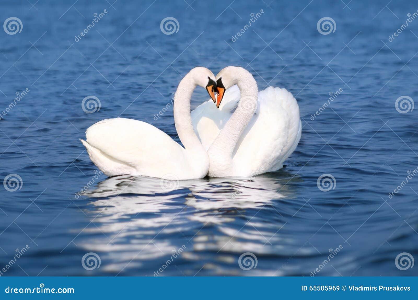 Den förälskade svannedgången, fåglar kopplar ihop kyssen, hjärta Shape för två djur