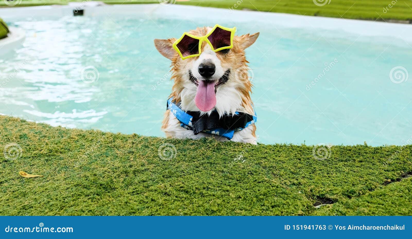 Den förtjusande framsidan för leendet för den welsh corgihunden bär gul solglasögon i simbassäng på helgen