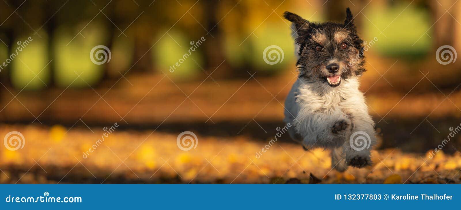 Den förtjusande Jack Russell Terrier kör i en färgrik höstskog