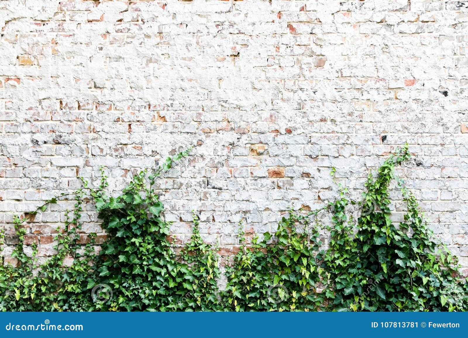 Den gamla och red ut grungy tegelstenväggen målade i vit med den gemensamma murgrönan eller den engelska murgrönan, Hederaspiral