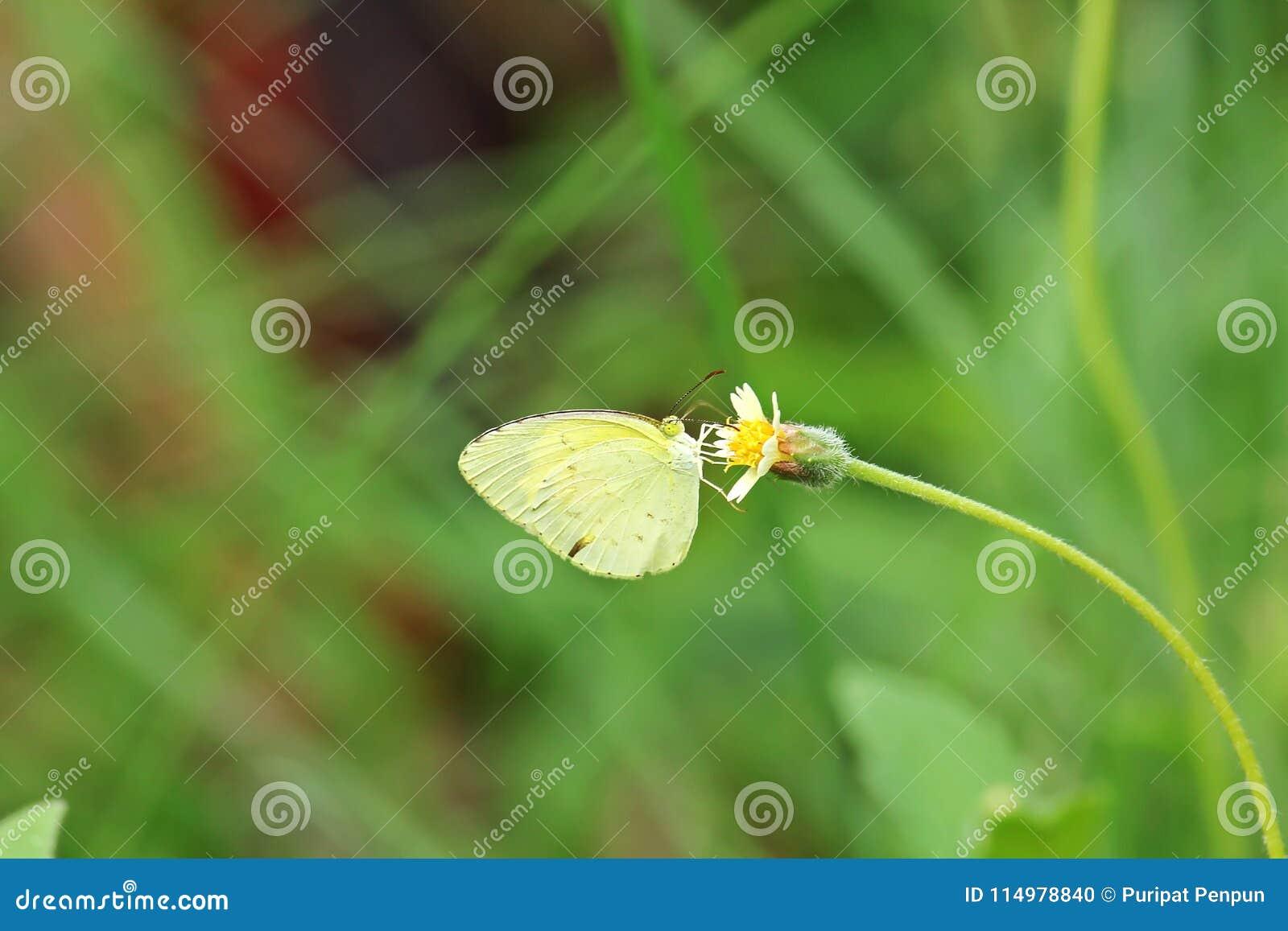Den gemensamma gräsgulingfjärilen är på en gul blomma