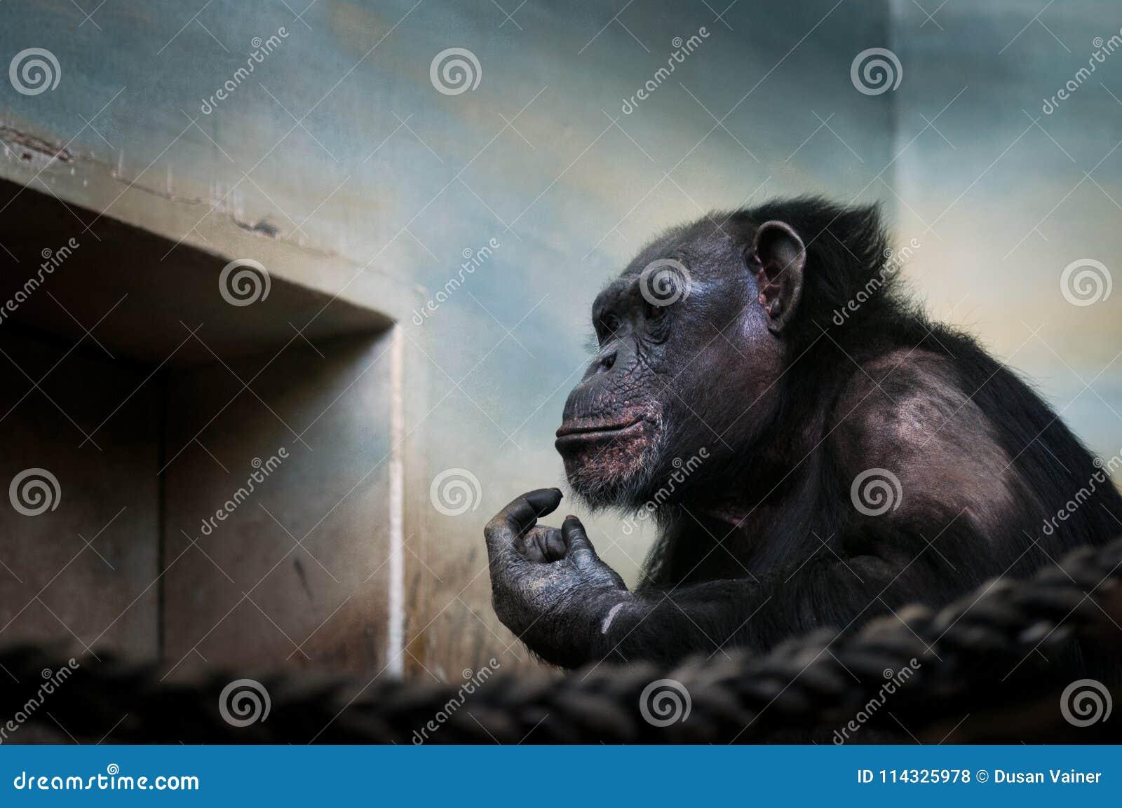 Den gemensamma schimpansen, pannagrottmänniskastående av det stora iconic däggdjuret höll i ZOO Rörande stående av den ledsna apa