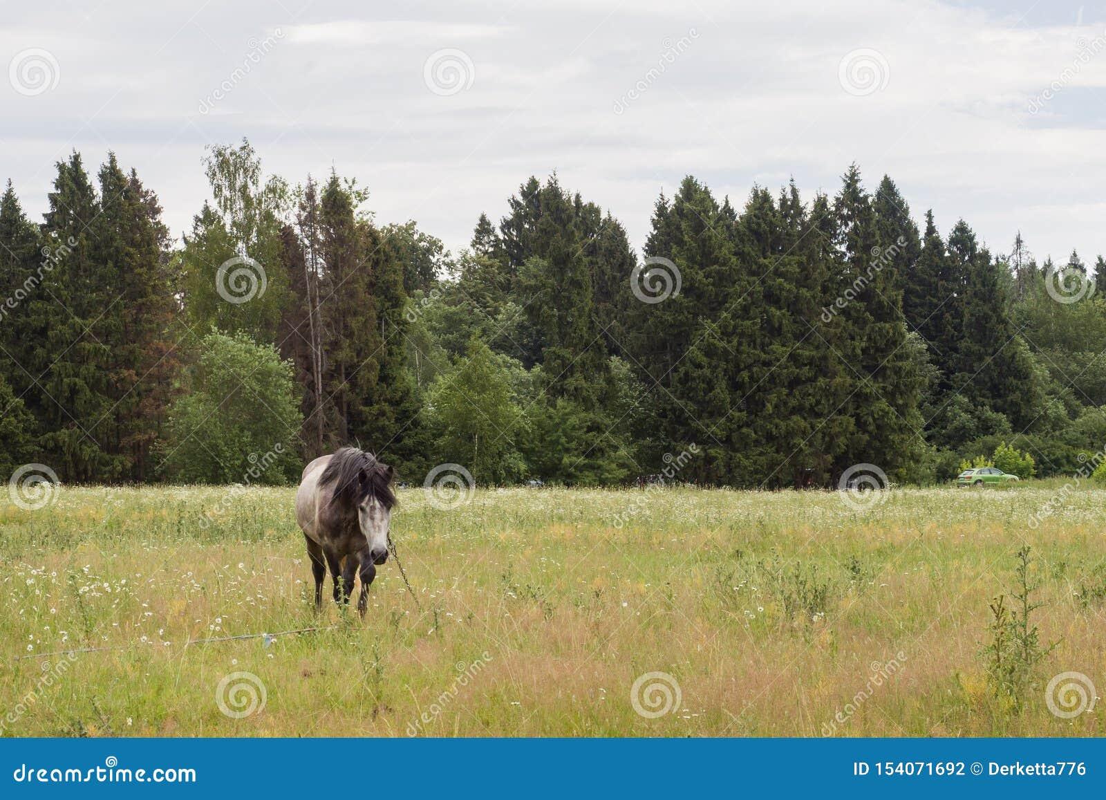 Den gråa hästen äter gräs på ett grönt fält betande h?stlawn
