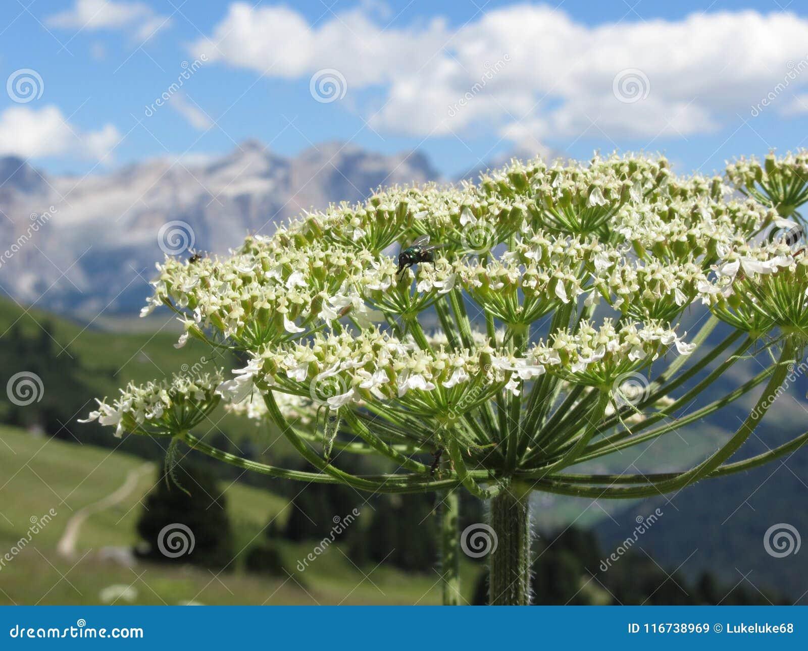 Den gröna flaskan eller matningar för art för Lucilia för den Greenbottle flugan på nektar på en Hogweed Heracleumsphondylium blo
