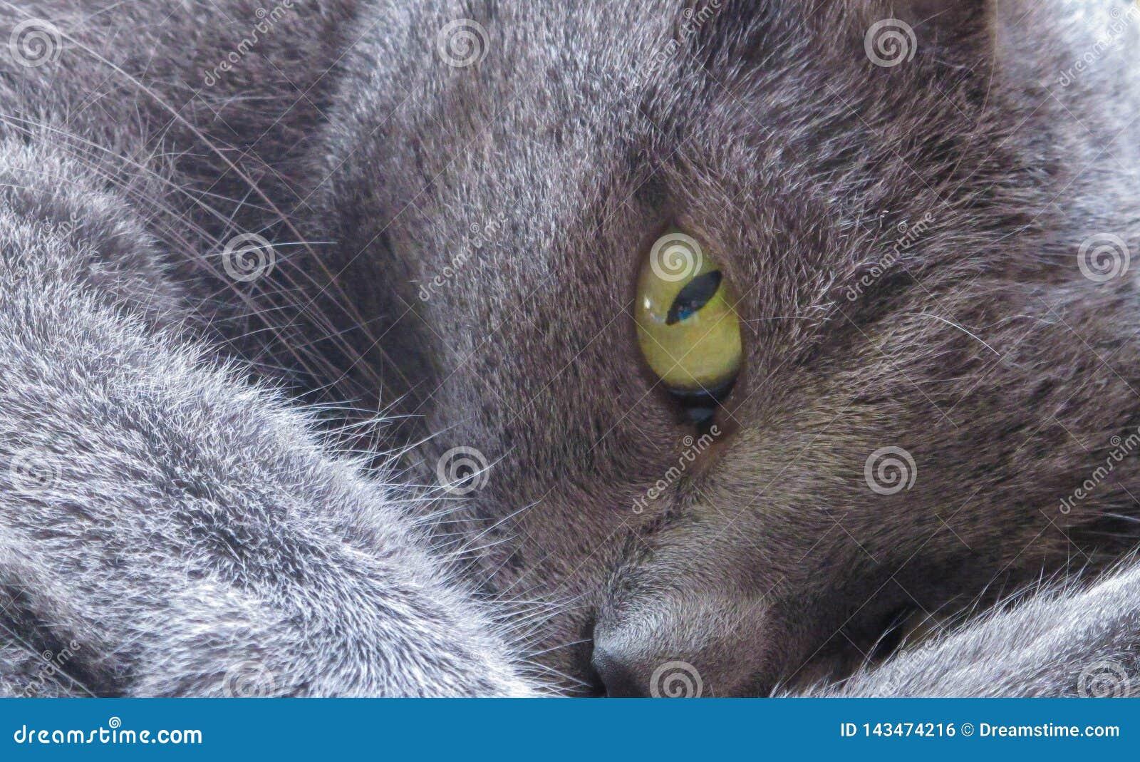Den gröna gråa katten för kattögat ser lat