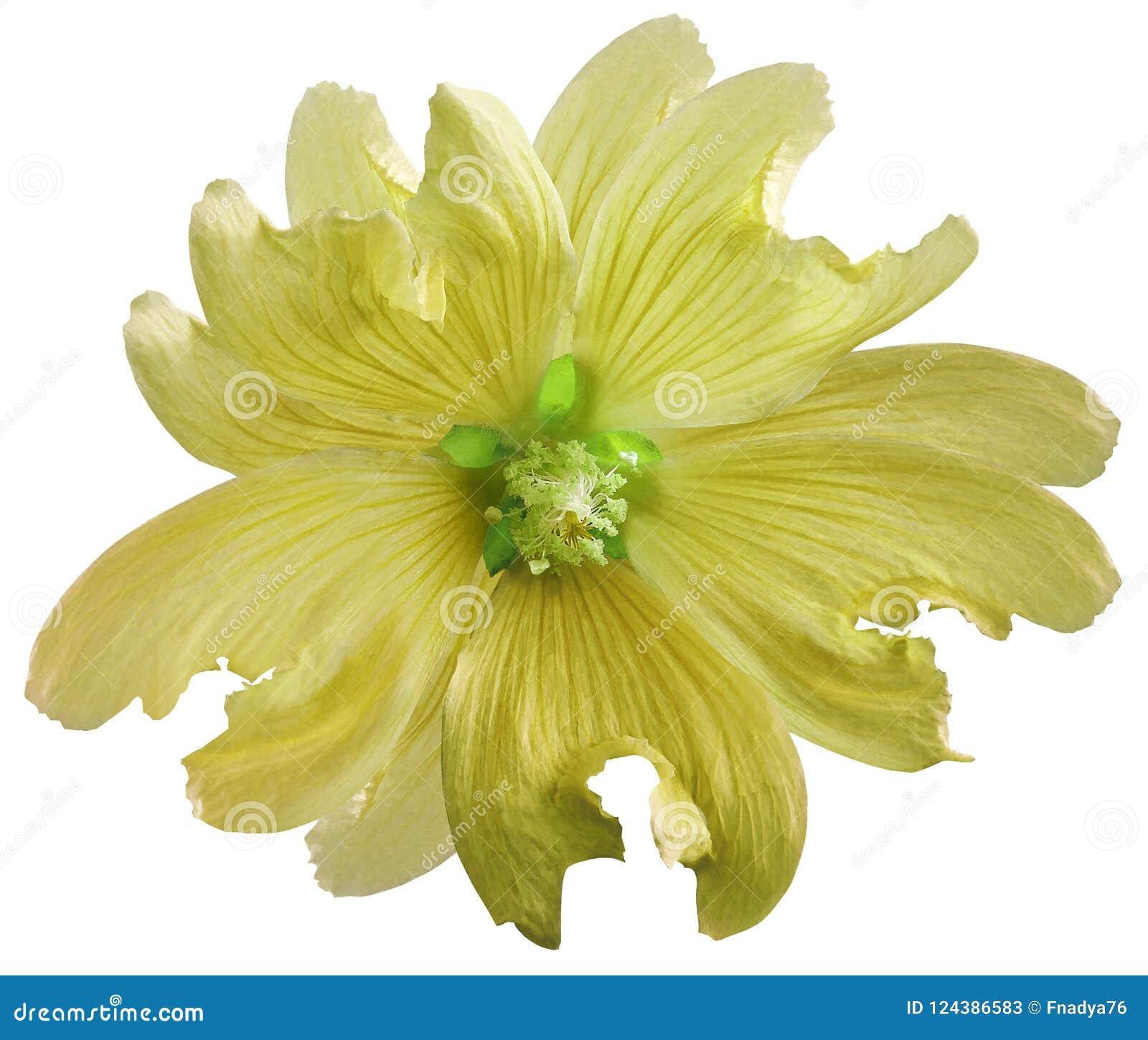 Den gula lösa malvablomman på en vit isolerade bakgrund med den snabba banan closeup element för klockajuldesign
