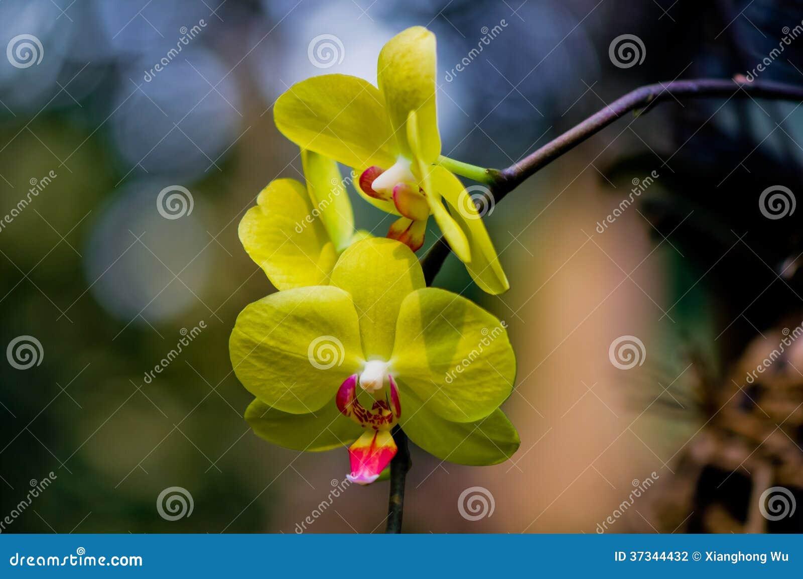 Den gula Phalaenopsisaphroditen