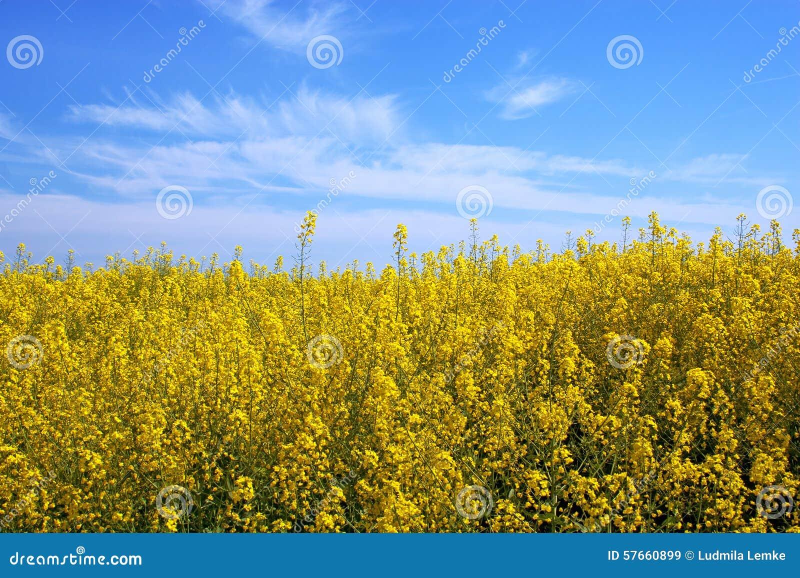 Den gula rapsfröt blommar på fält