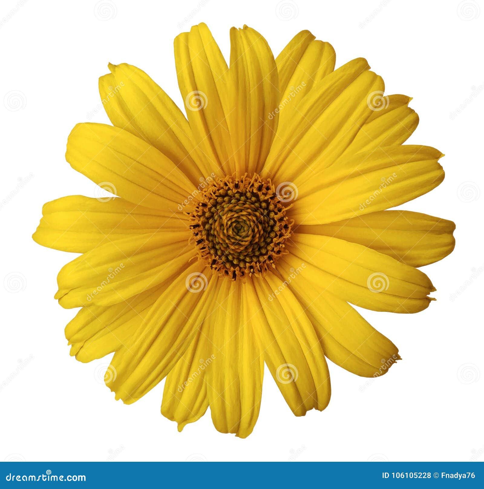 Den gula tusenskönablomman på en vit isolerade bakgrund med den snabba banan Blomma för designen, textur, vykortet, omslag closeu