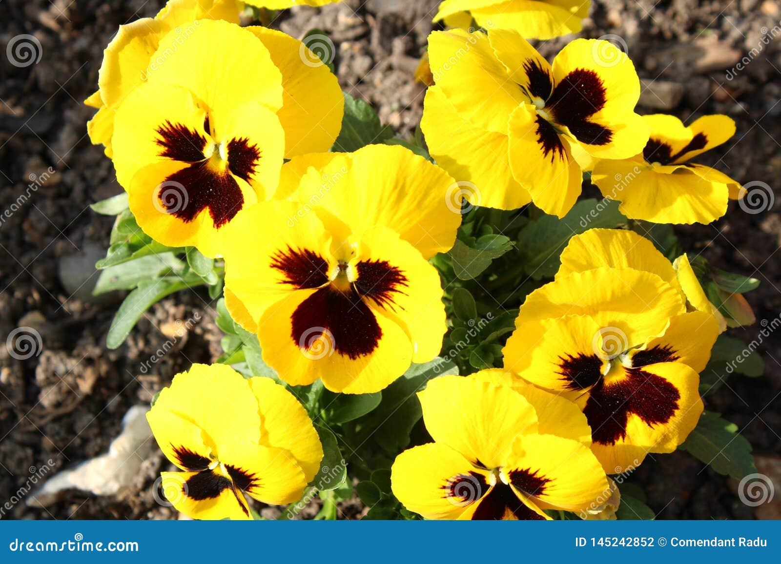 Den gula v?ren blommar i en tr?dg?rd