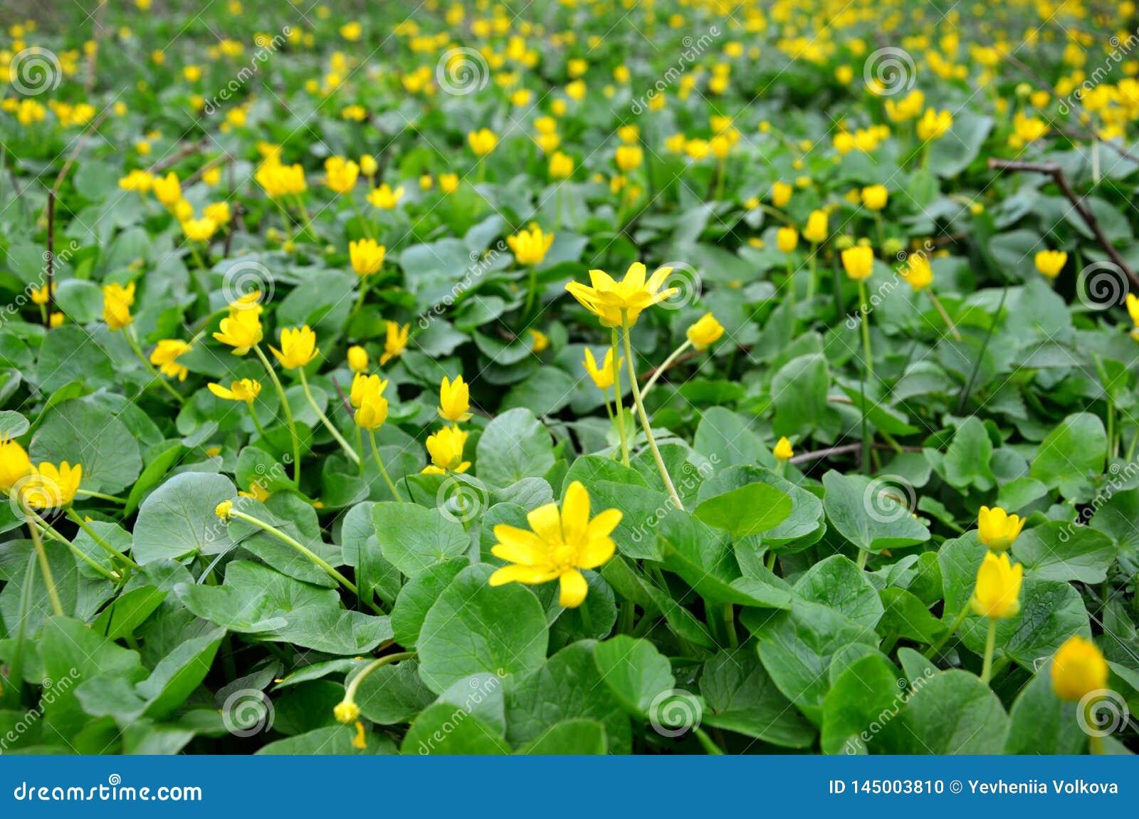 Den gula v?ren blommar i ?ngen