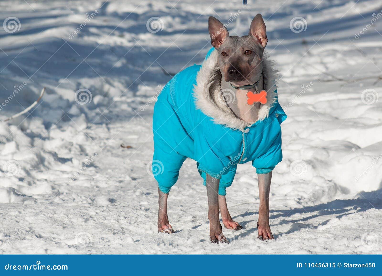 Den gulliga amerikanska hårlösa terriern i härlig overall står på en vit snö Älsklings- djur