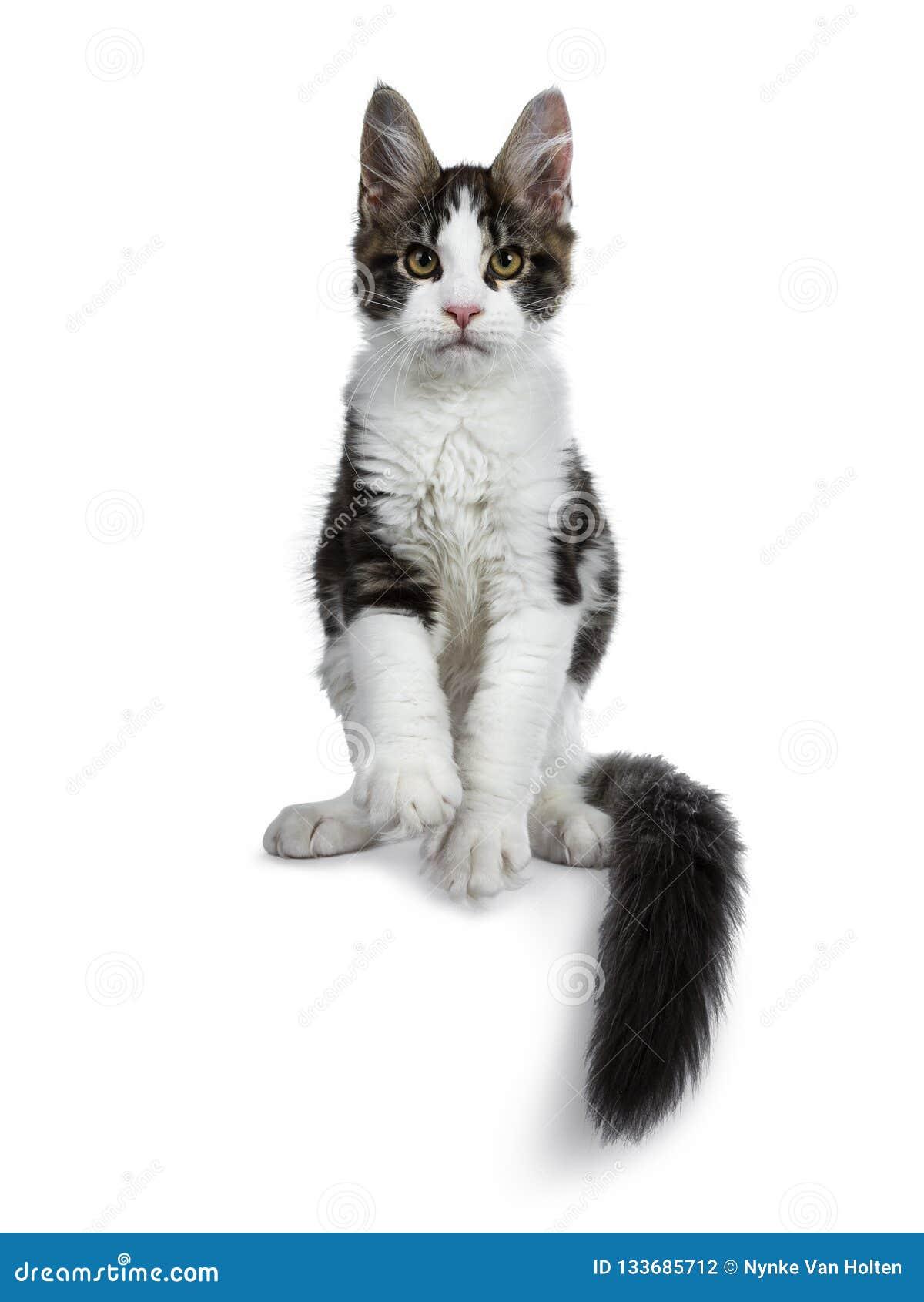 Den gulliga svarta strimmiga katten med den vita Maine Coon kattkattungen, framdel tafsar i luft och svans runt om kropp