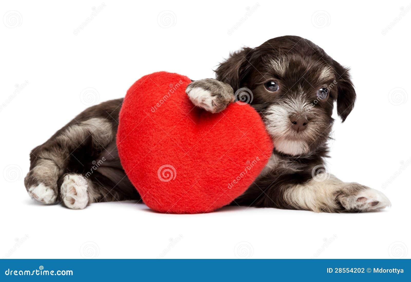 Den gulliga valentinHavanese valpen förföljer med en röd hjärta