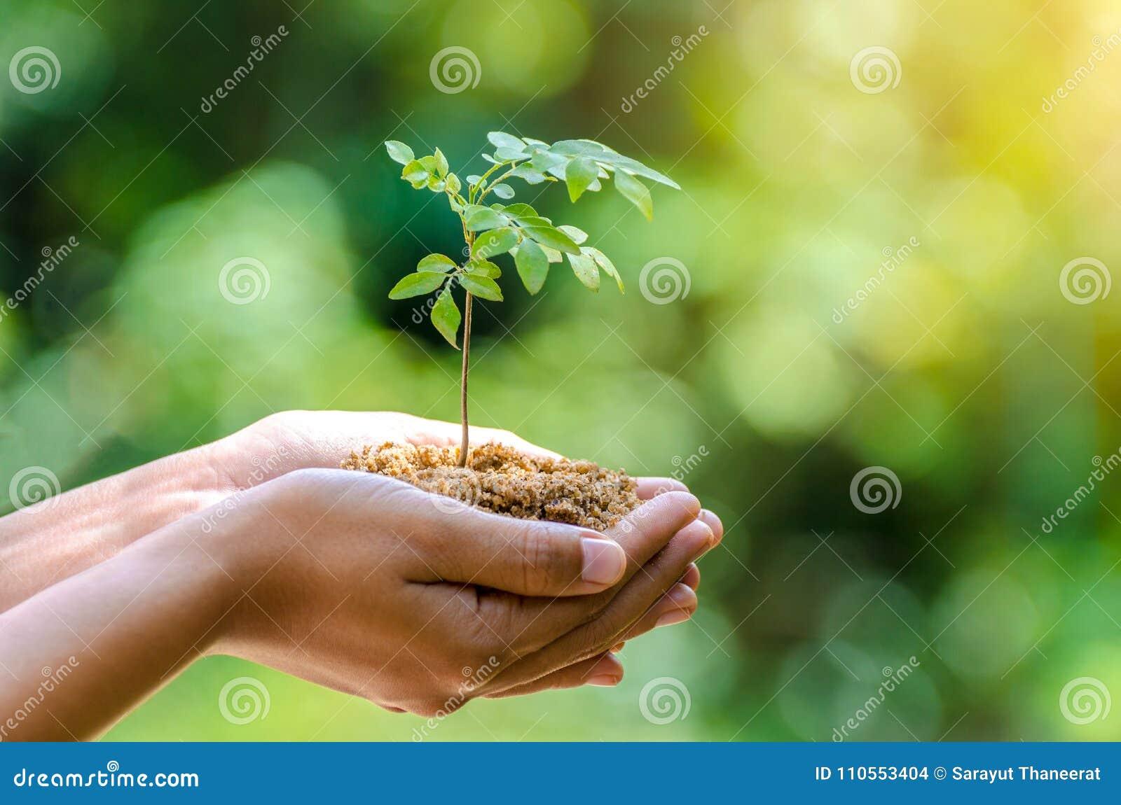 In den Händen von den Bäumen, welche die weibliche Hand Sämlinge Bokeh-Grün Hintergrundes hält Baumnaturfeldgras Walderhaltung wa