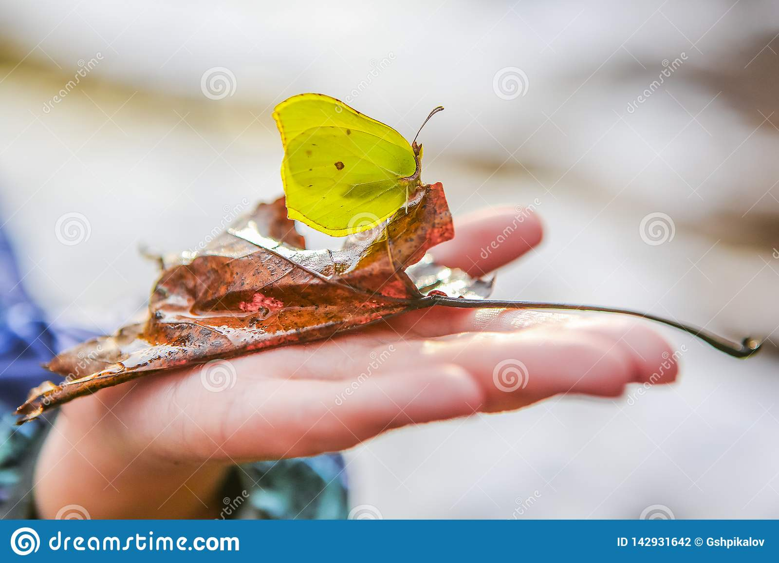 Den härliga fjärilen på ett stupat blad på ett barn gömma i handflatan