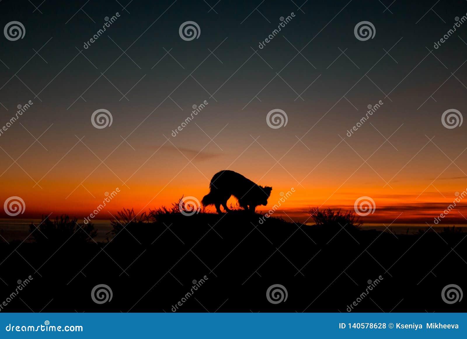 Den härliga hunden border collie sitter på kanten av en klippa nära det blåa havet under en oerhörd solnedgång silhouette