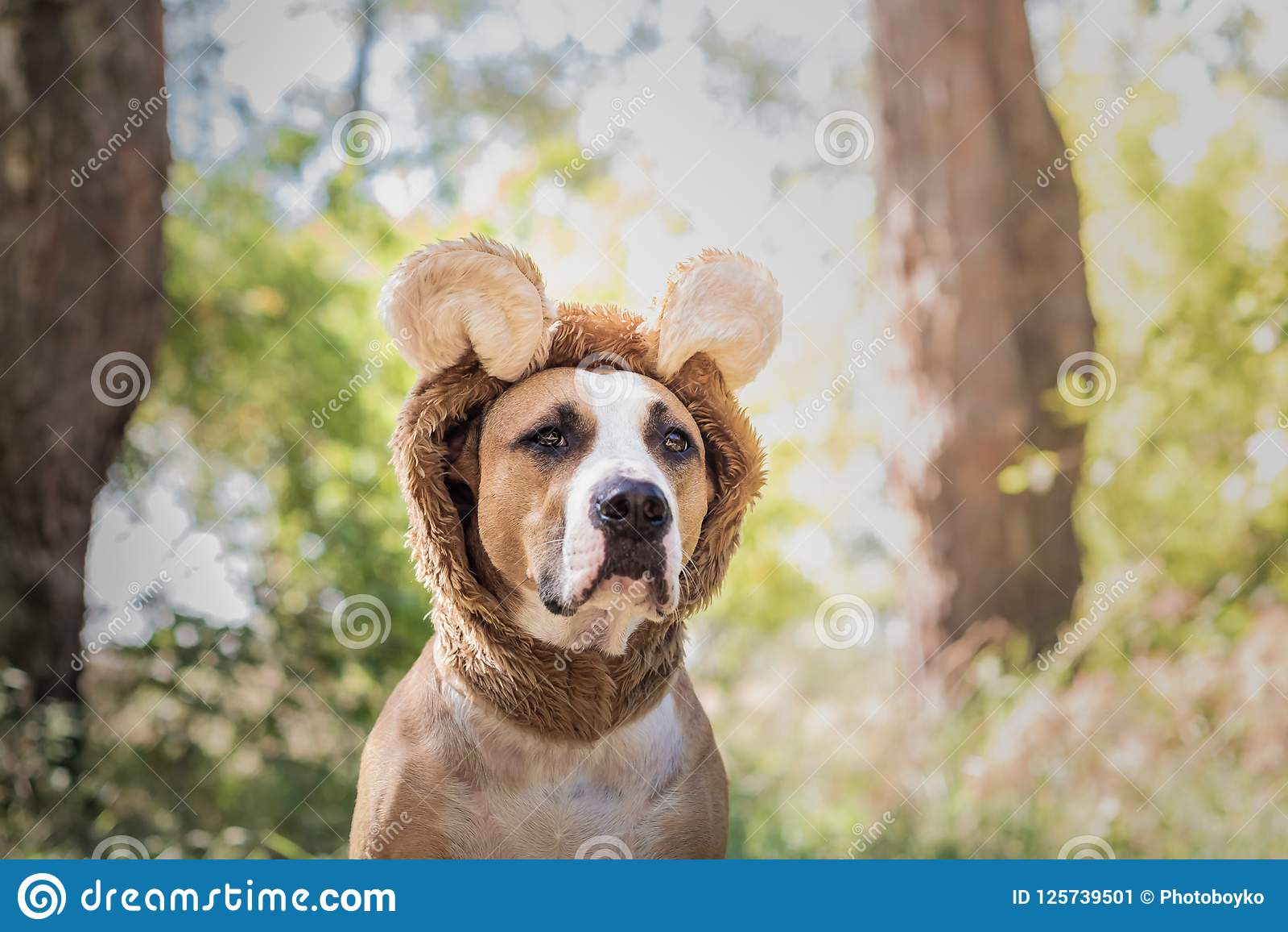 Den härliga hundståenden i björnhatt fotograferade utomhus Gulligt s