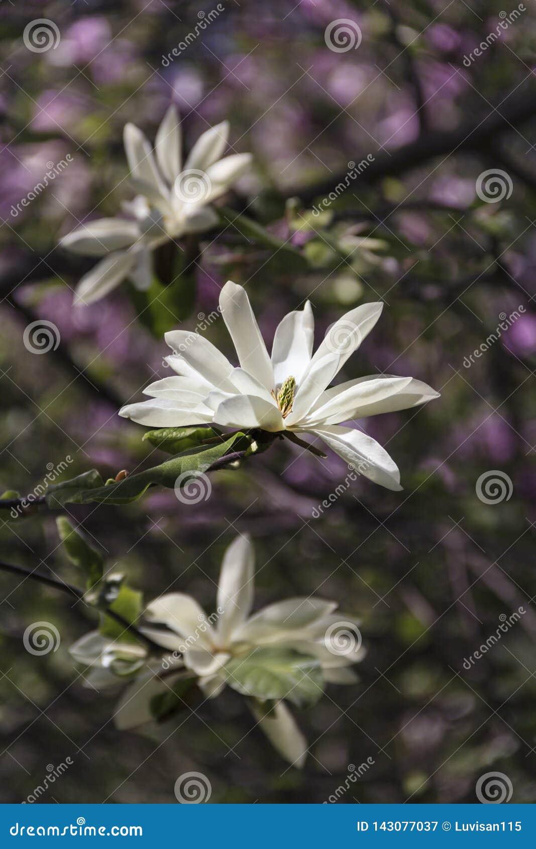 Den härliga magnolian i trädgården skapar ett bra lynne