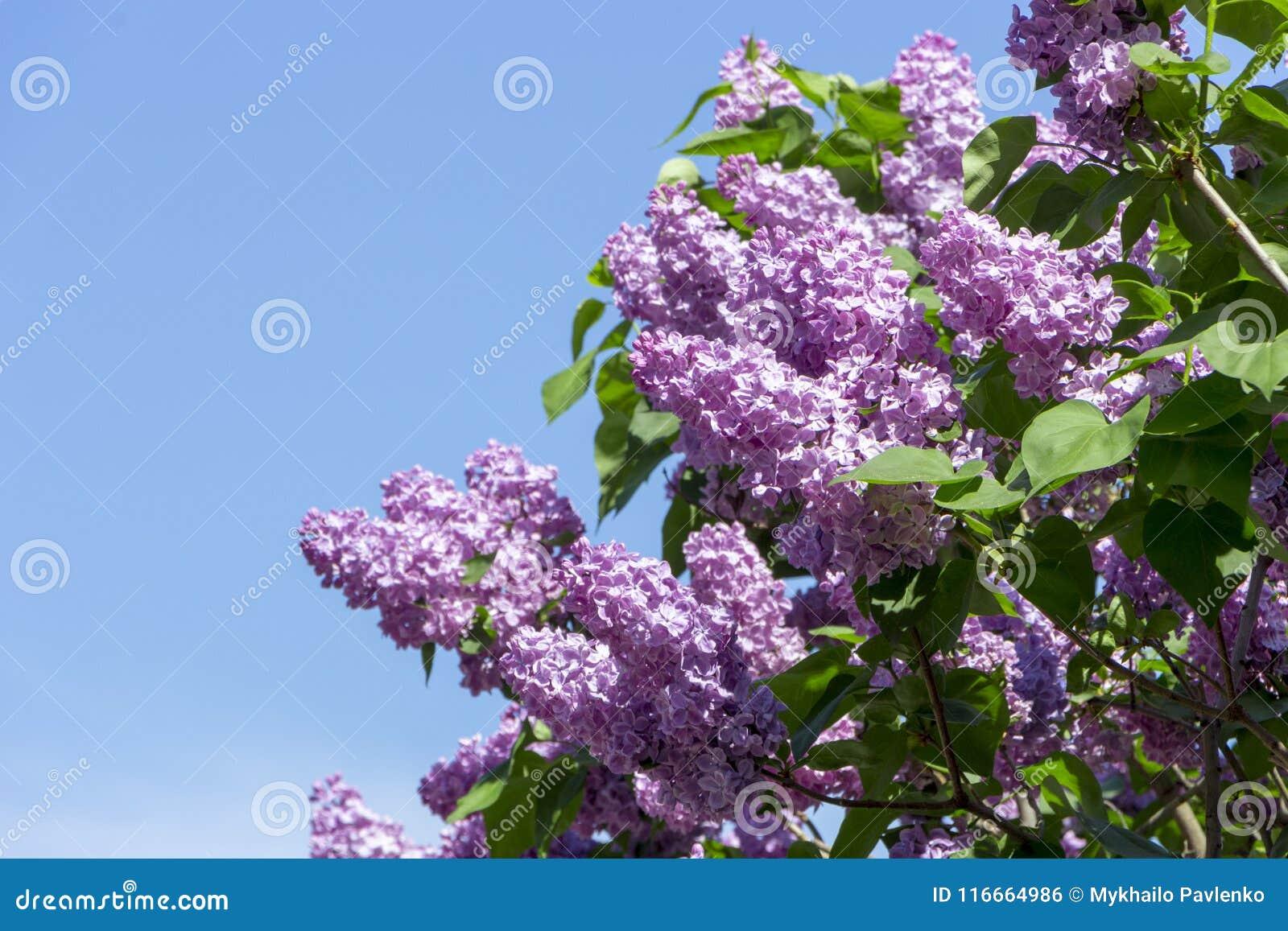 Den härliga purpurfärgade lilan blommar utomhus