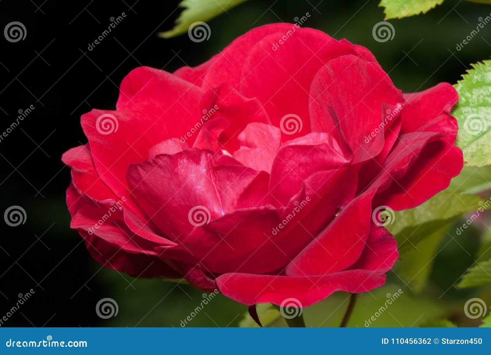 Den härliga röda rosen växer på en grön äng Levande natur