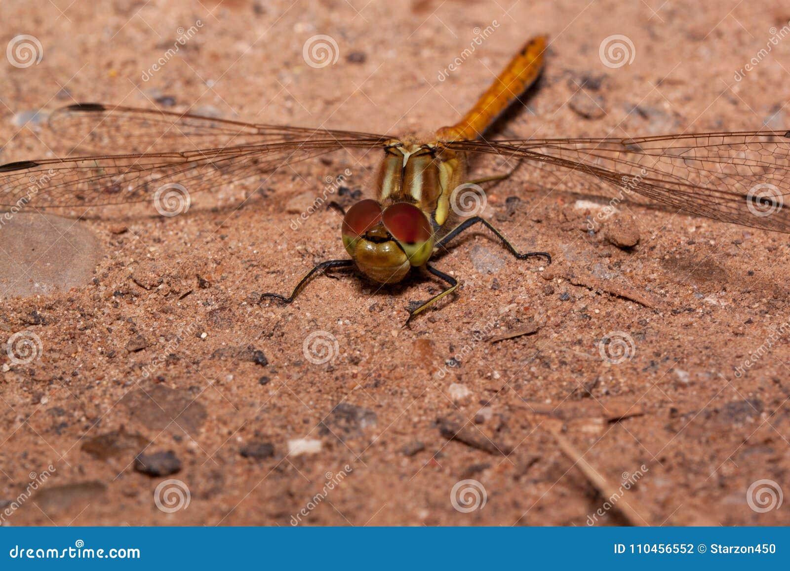 Den härliga sländan med genomskinliga vingar sitter på en sand Djur i djurliv