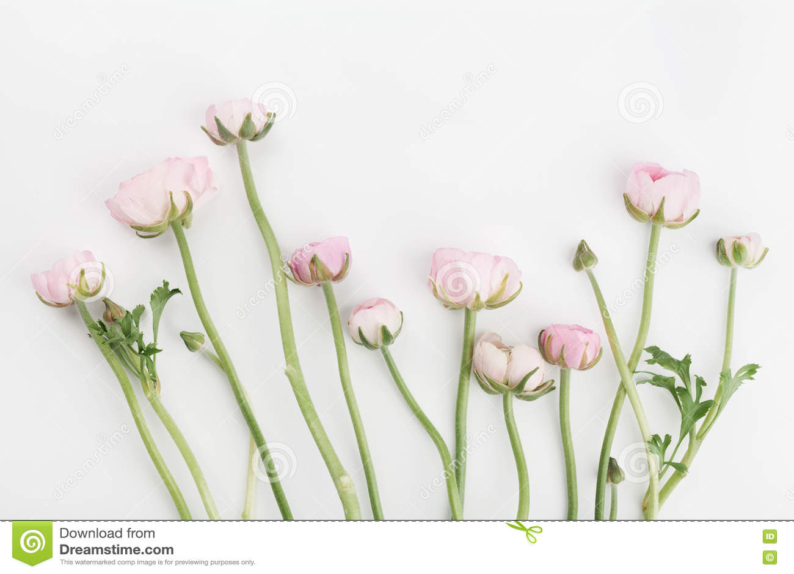Den härliga vårranunculusen blommar på vit bakgrund från över blom- kant Pastellfärgad färg Bröllopmodell Lekmanna- lägenhet