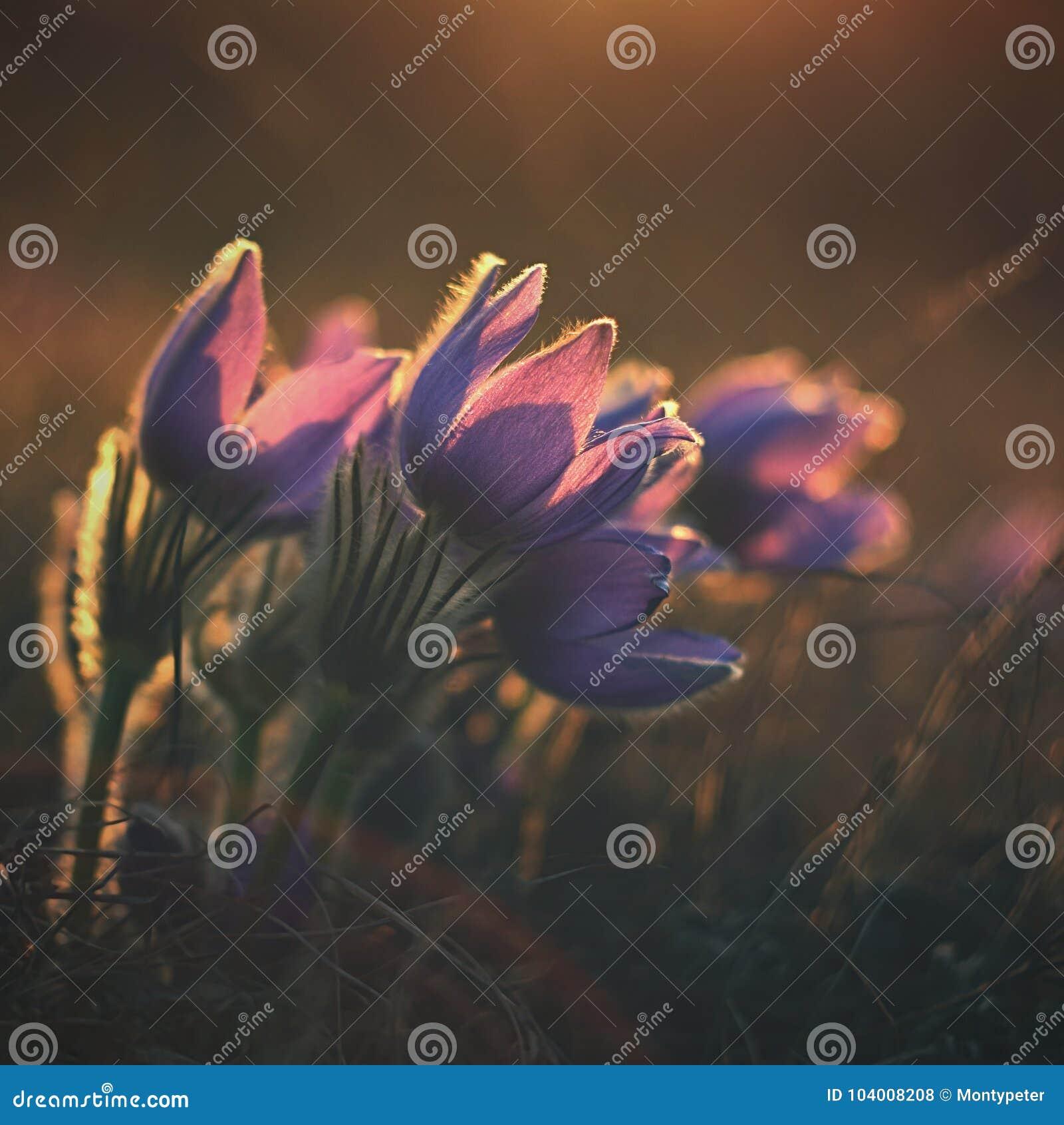 Den härliga violeten blommar på en äng på solnedgången Härlig naturlig färgrik bakgrund Grandis för Pulsatilla för Pasque blomma