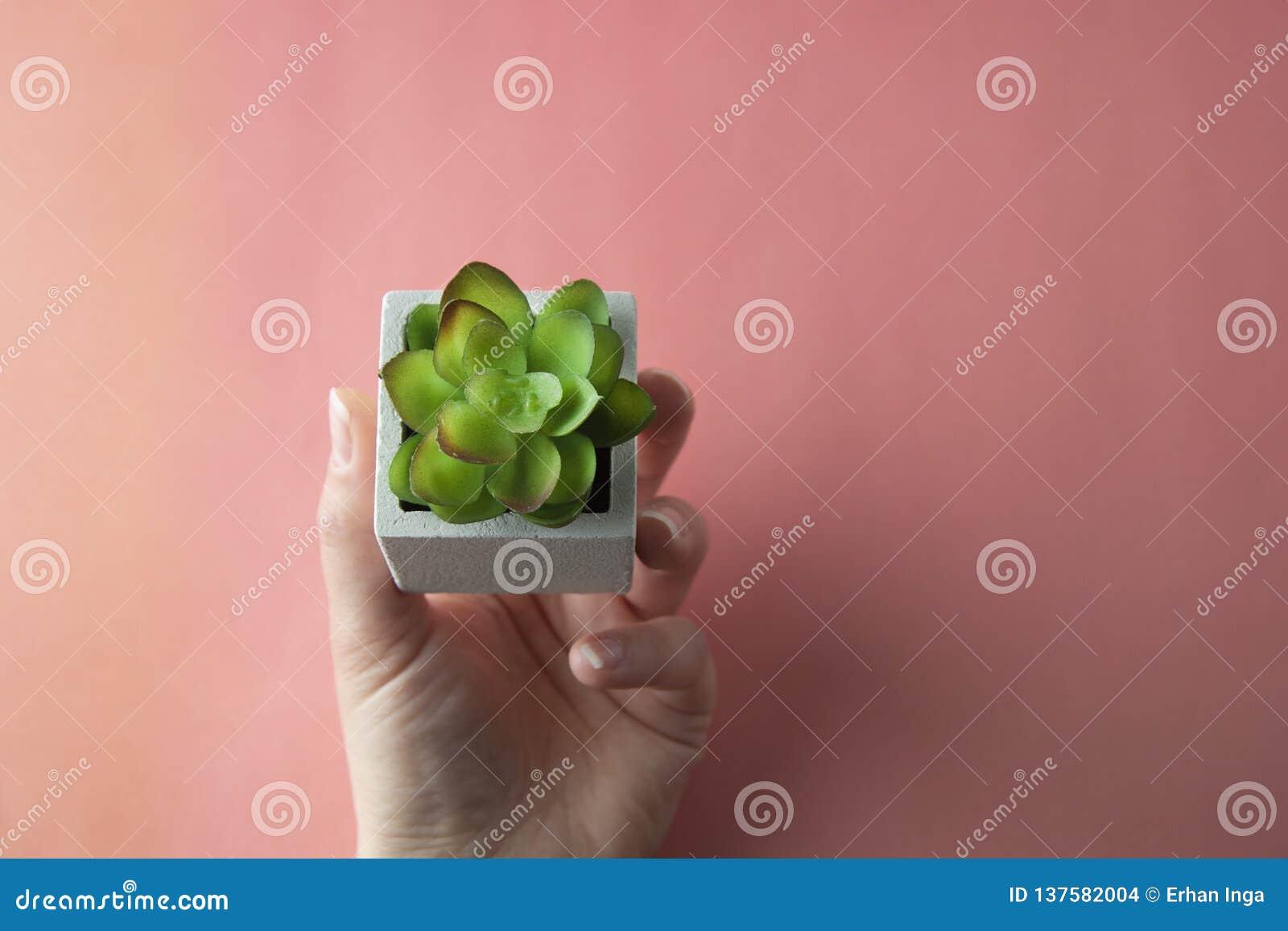 Den handen som rymmer suckulenter, planterar flatlay bästa sikt varmt rosa, korallbakgrund Arbeta i trädgården och inomhus palnts