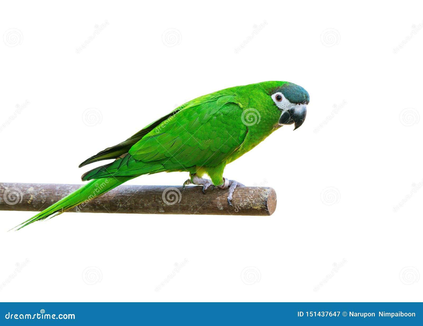 Den Hanh aran eller denknuffade aran, den härliga gröna fågeln isolerade att sätta sig på filialen