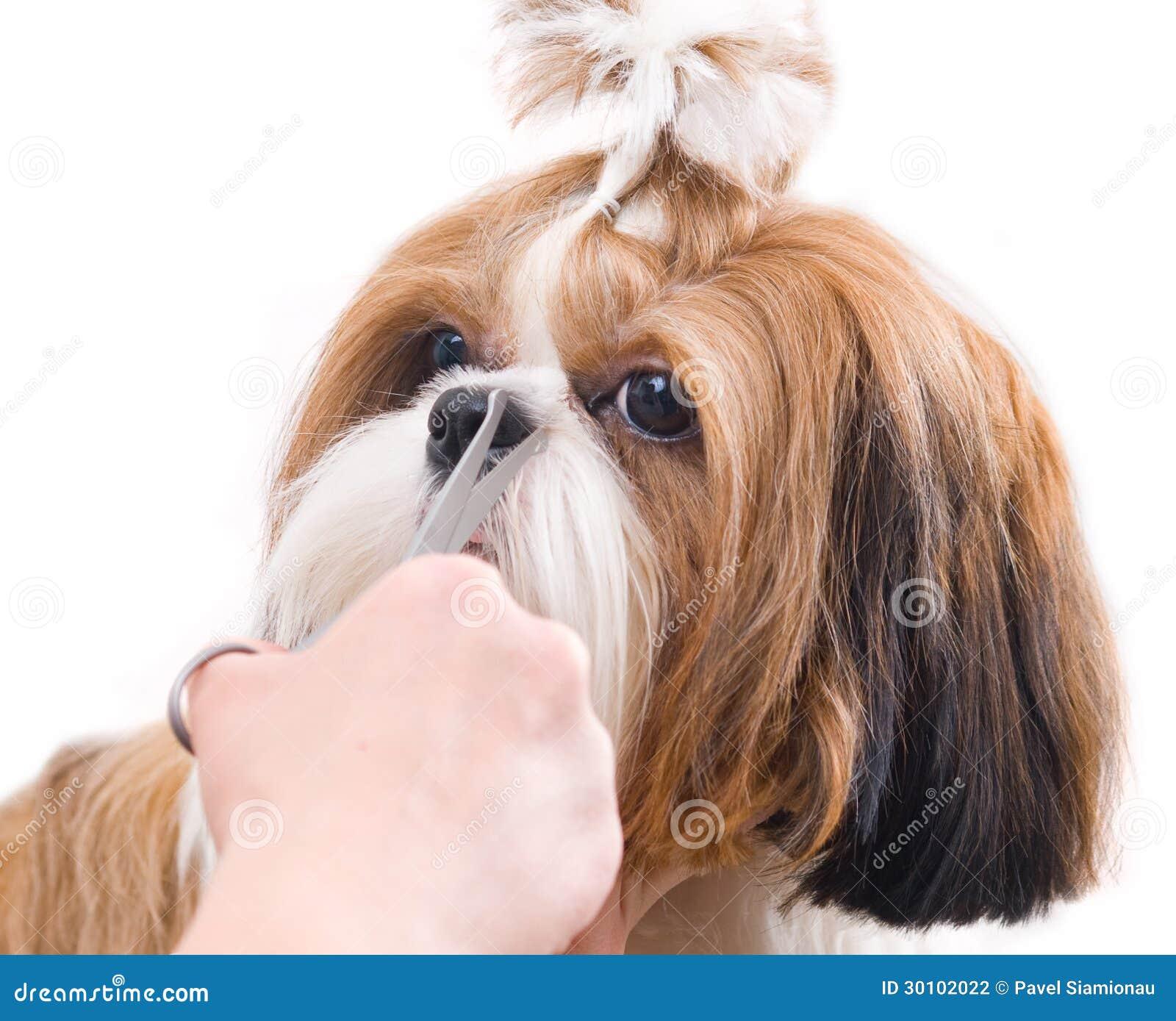Pflegen des Hundes Shih Tzu