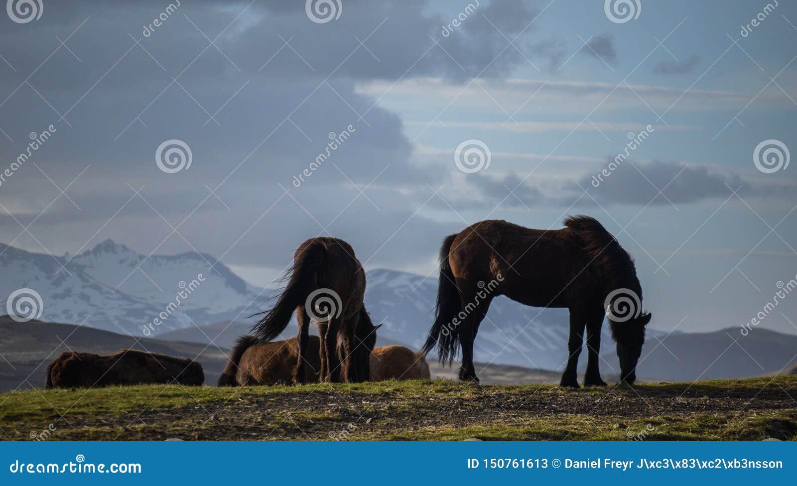 Den iconic Island hästen