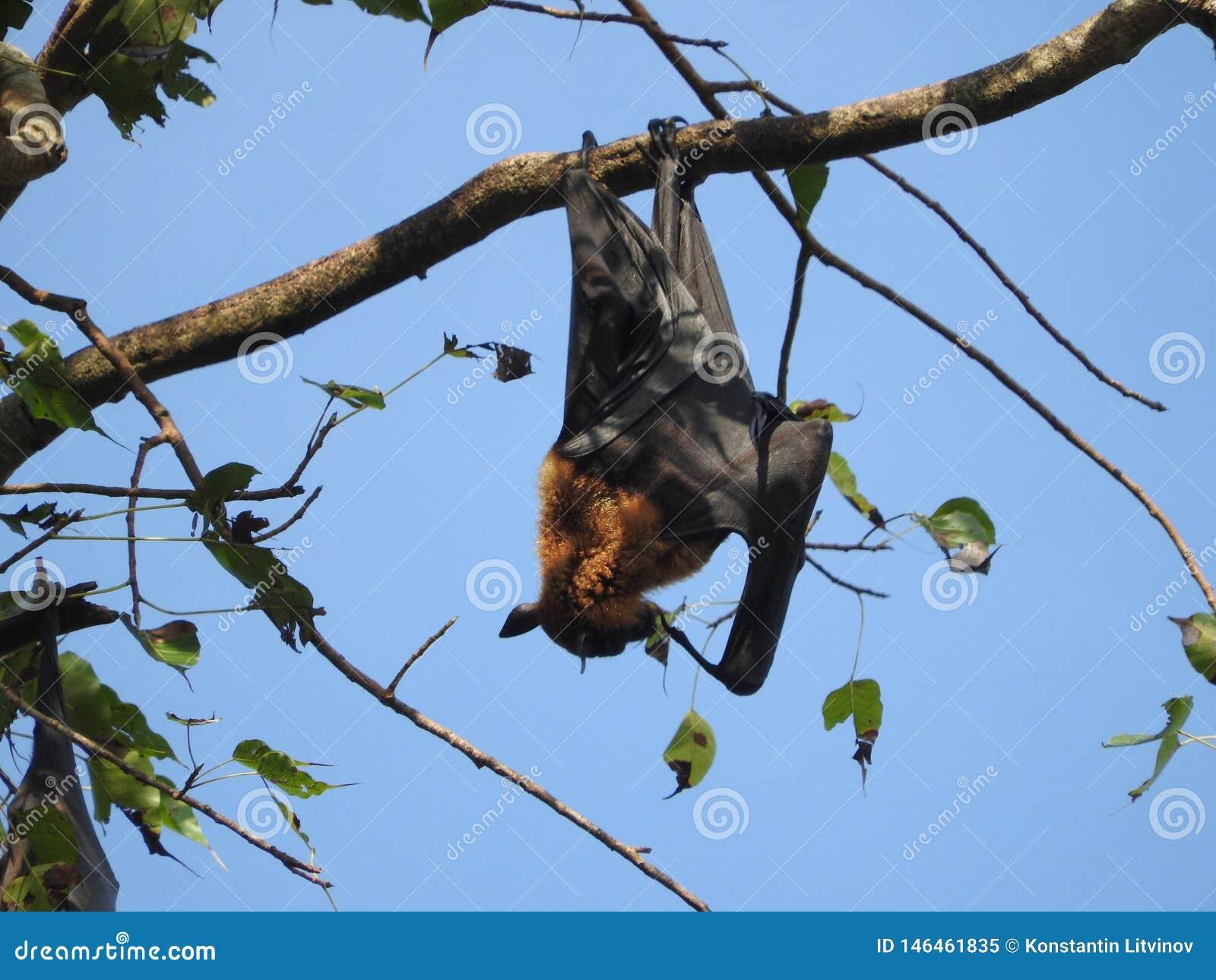 Den illavarslande flygahundkappl?pningen i Sri Lanka sitter i tr?den p? en klar dag mot den bl?a himlen
