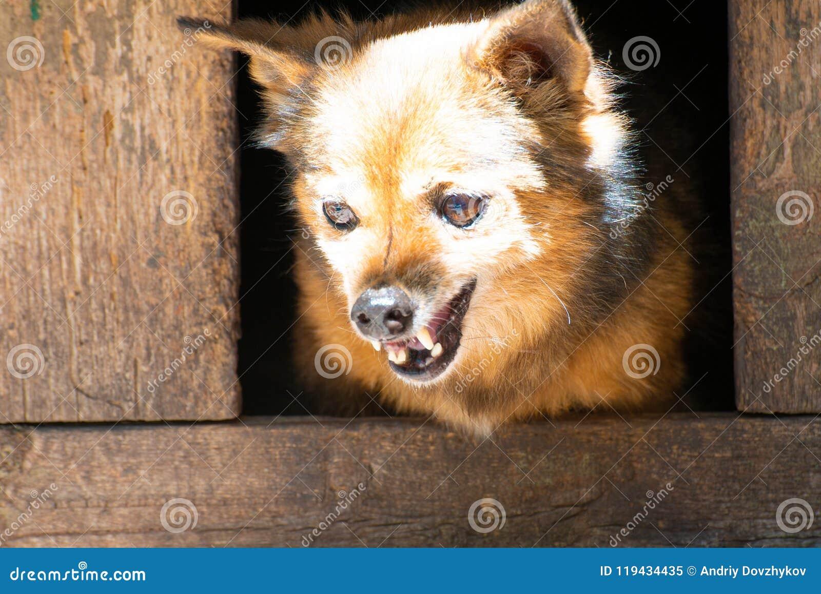 Den ilskna hunden av byrackan, grinar hans tänder i båset