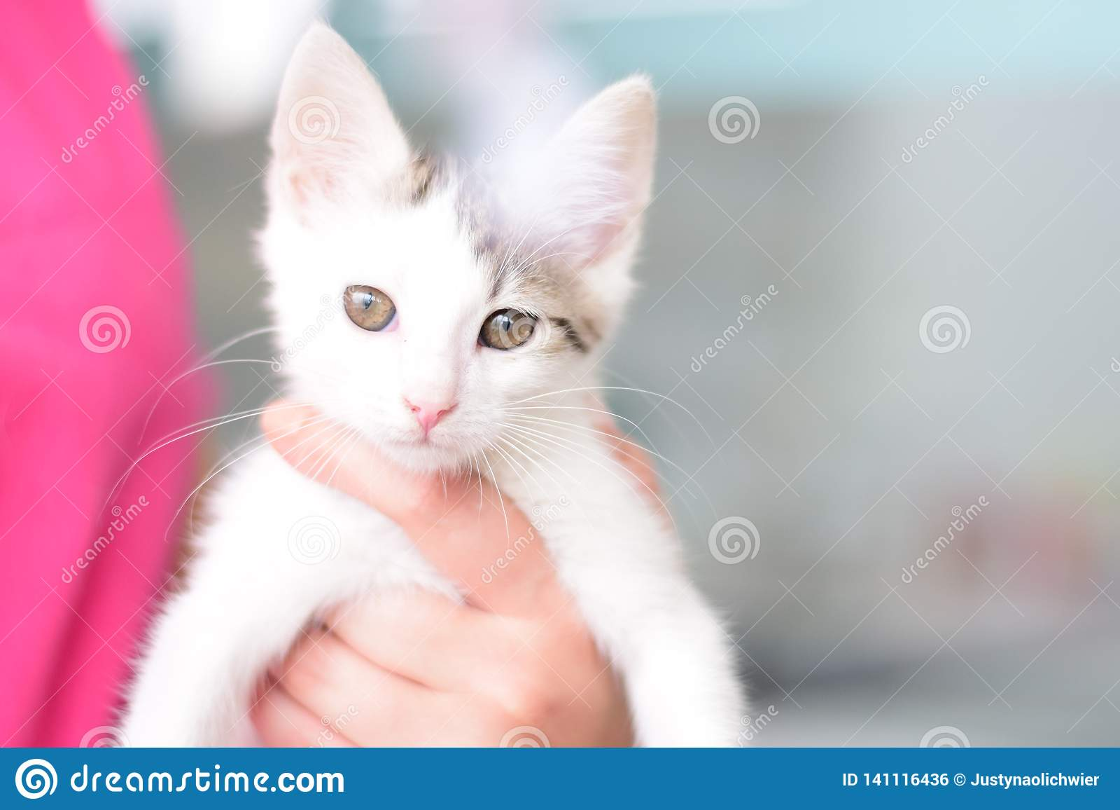 Den isolerade vita härliga katten på händer med magnetiska ögon rymmer vid en veterinär- assistent i en veterinär- klinik Se kamm