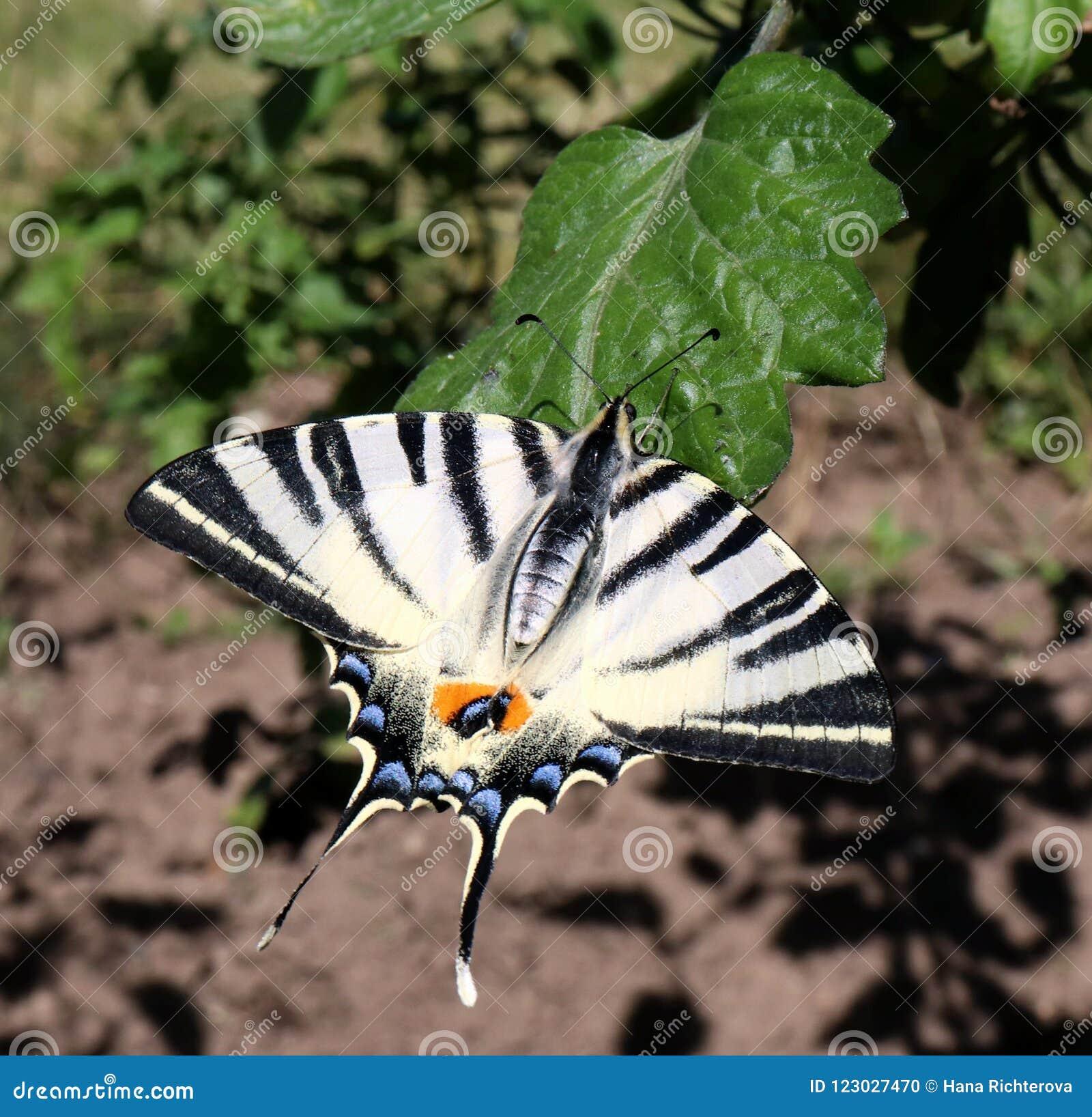 Den knappa swallowtailfjärilen kallade också en podalirius för iphiclides för namn för seglaswallowtail- eller päron-träd swallow